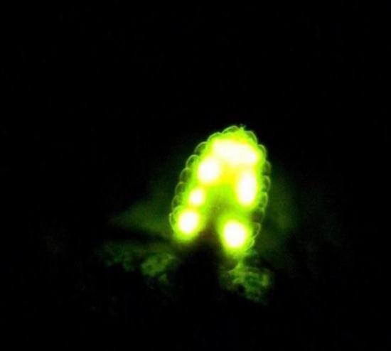 在萤火虫体内有一种磷化物——发光质,经发光酵素作用,会引起一连串