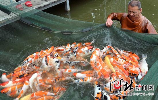 廊坊:锦鲤养殖(图)